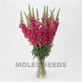 Antirrhinum Potomac Cherry Rose