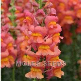 Antirrhinum Potomac Orange