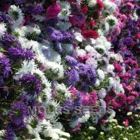 Aster Ostrich Plume Choice Mixed