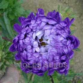 Aster Duchess Special Mixed