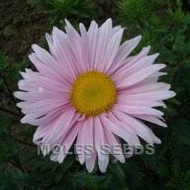 Aster Single Mixed