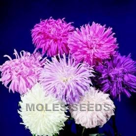Aster Giants of California Mixed