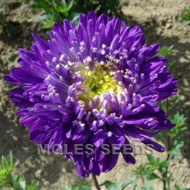 Aster Giant Princess Choice Mixed
