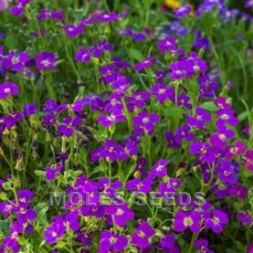 Aubretia F1 Audrey Purple Shades