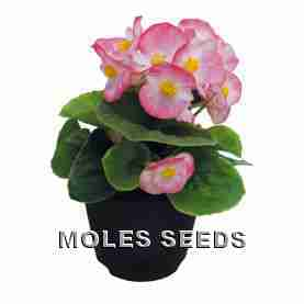 Begonia Super Cool Blush Pellets