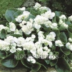 Begonia queen white pellets begonia semperflorens for Queen pellet