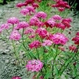 Candytuft Red Flash