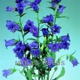 Canterbury Bells F1 Champion Blue (pellets)