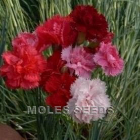 Carnation Hardy Border Mixed