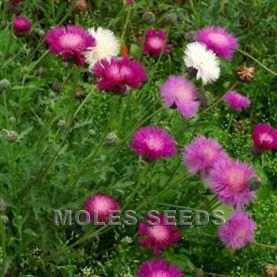 Centaurea moschata Mixed