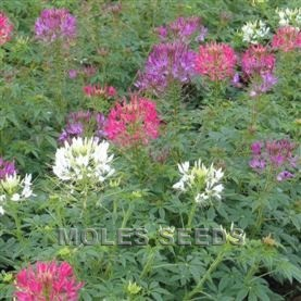 Cleome F1 Sparkler Mixed
