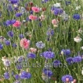 Cornflower Special Mixed