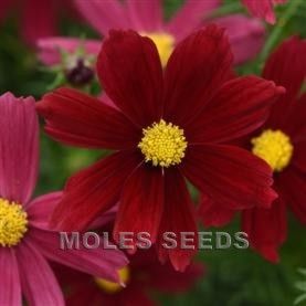 Cosmos Sonata  Red Shades