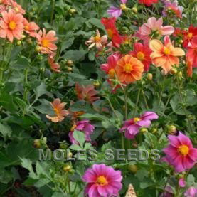 Dahlia Double Decorative Hybrids