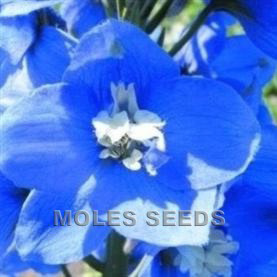 Delphinium Magic Fountains Mid Blue with White Bee