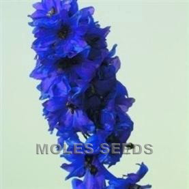 Delphinium Magic Fountains Dark Blue with Dark Bee