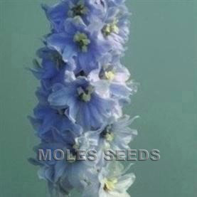 Delphinium Magic Fountains Lavender with White Bee
