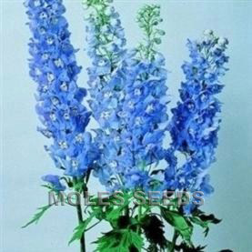 Delphinium Magic Fountains Sky Blue with White Bee