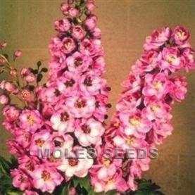 Delphinium Pacific Giants Astolat