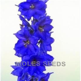Delphinium Pacific Giants Black Knight