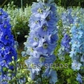 Delphinium Pacific Giants Camelaird