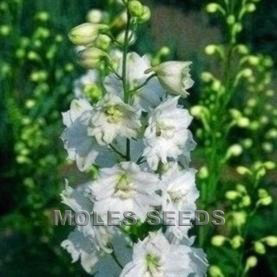 Delphinium Pacific Giants Galahad