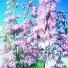 Delphinium Pacific Giants Guinevere