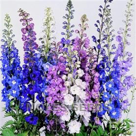 Delphinium Pacific Giants Round Table Mixed