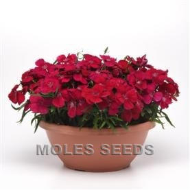 Dianthus Corona F1 Cherry Red