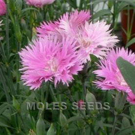 Dianthus F1 Dignity Pink