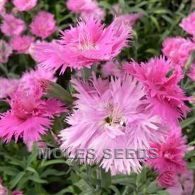Dianthus F1 Dignity Lavender