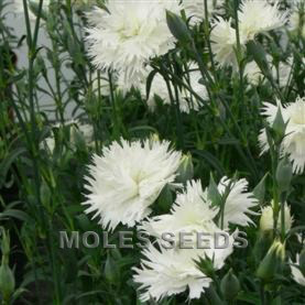 Dianthus F1 Dignity White