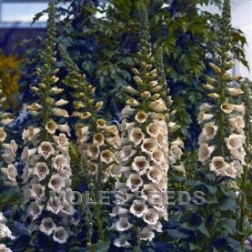 Digitalis F1 Camelot Cream (pellets)