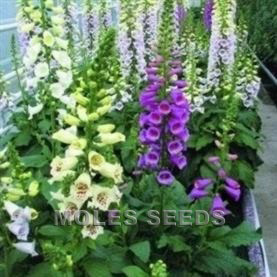 Digitalis F1 Camelot Mixed (pellets)