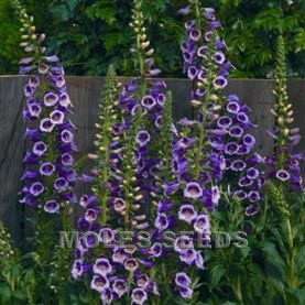 Digitalis F1 Camelot Rose (pellets)