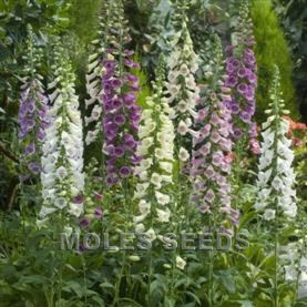 Digitalis Bondana Mixed