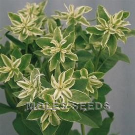 Euphorbia marginata Snow Top