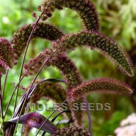 Grass Setaria Italica Red Jewel