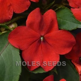 Impatiens F1 Beacon Bright Red