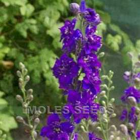 Larkspur Limelight Dark Blue