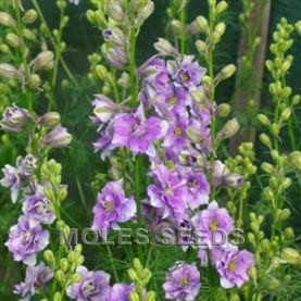 Larkspur Limelight Light Blue