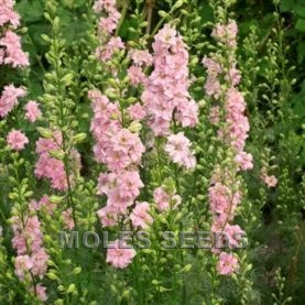 Larkspur Limelight Light Pink