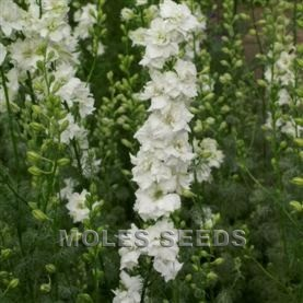 Larkspur Limelight White