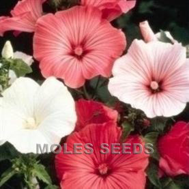 Lavatera Beauty Mixed