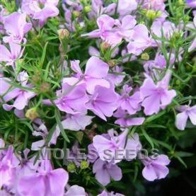 Lobelia Riviera Lilac Pellets Lobelia Erinus