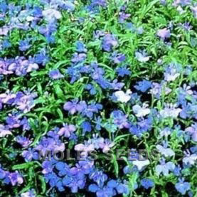 Lobelia Blue Fountains (pellets) - Lobelia pendula