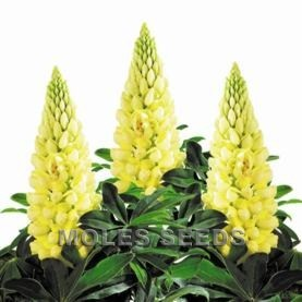 Lupin Lupini Yellow