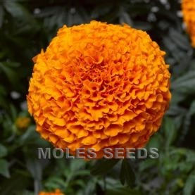 Marigold F1 Inca II Deep Orange (de-tailed seed)