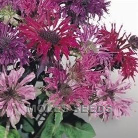 Monarda didyma Panorama Mixed