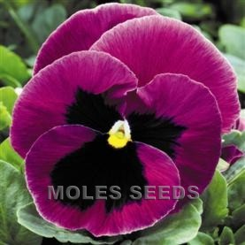 Pansy F1 Inspire Pink Shades